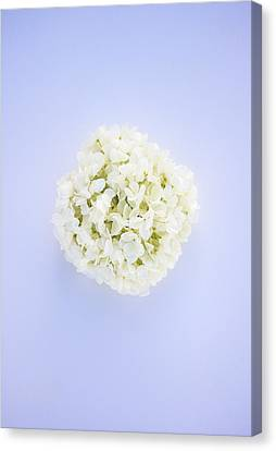 Glowing Hydrangea Canvas Print by Parker Cunningham