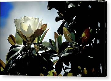 Glowing Magnolia Canvas Print