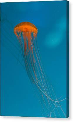 Monteray Bay Canvas Print - Glowing Orange Sea Nettle by Scott Campbell