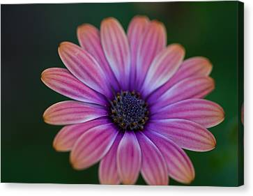 Glowing Pink Canvas Print by John Hoey