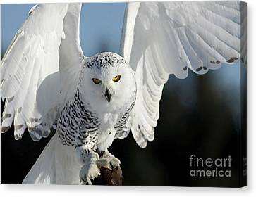 Glowing Snowy Owl In Flight Canvas Print by Inspired Nature Photography Fine Art Photography