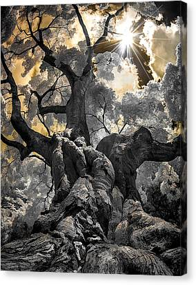 Canvas Print featuring the photograph Gnarled Maple by Steve Zimic