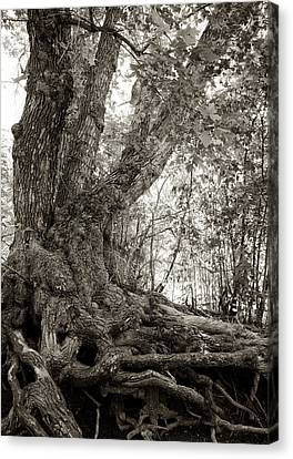 Canvas Print featuring the photograph Gnarled Tree by Mary Lee Dereske