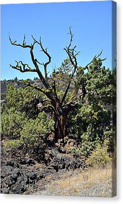 Gnarled Tree On The Lava Beds - Portrait Canvas Print by Rich Rauenzahn
