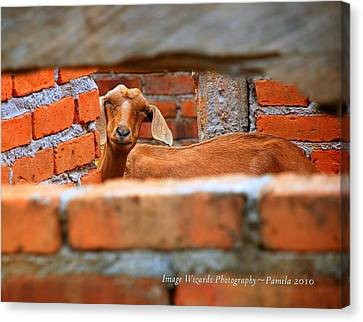 Goat In A Box Canvas Print by ARTography by Pamela Smale Williams