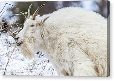 Canvas Print featuring the photograph Goat On The Mountain by Yeates Photography