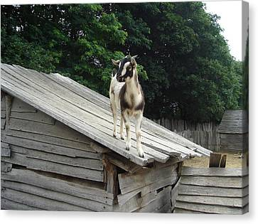 Canvas Print featuring the photograph Goat On The Roof by Kerri Mortenson