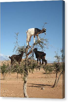 Goats In A Tree Canvas Print