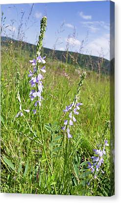 Romania Canvas Print - Goat's-rue (galega Officinalis) In Flower by Bob Gibbons