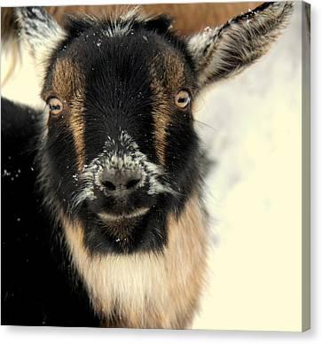 Goatstache Canvas Print by Kathy Bassett