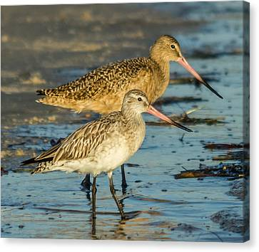 Godwits Canvas Print by Jane Luxton