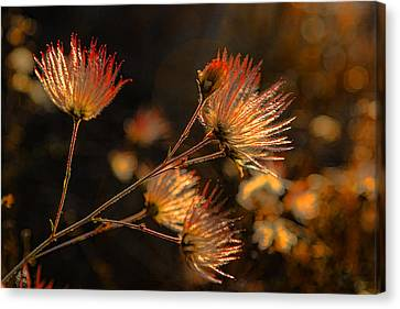 Going To Seed Canvas Print by Scott Campbell