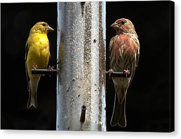 Canvas Print featuring the photograph Gold And Purple Finch by Geraldine Alexander