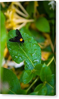 Gold Backed Snipe Fly Canvas Print