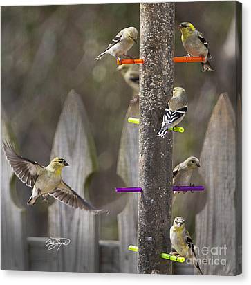 Gold Finch Cleared For Landing Canvas Print by Cris Hayes