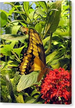 Gold Giant Swallowtail Canvas Print by Jennifer Wheatley Wolf