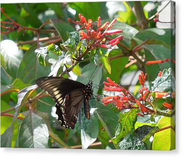 Canvas Print featuring the photograph Gold Rim Swallowtail by Ron Davidson