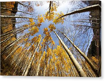 Golden Aspens And Sky Canvas Print