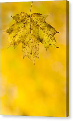 Golden Autumn Canvas Print by Sebastian Musial