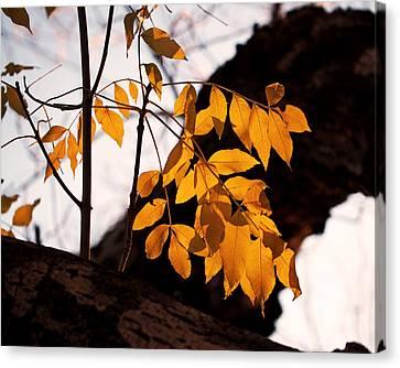 Golden Beech Leaves Canvas Print