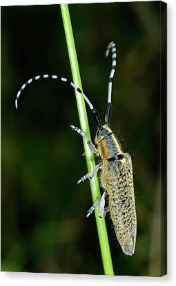 Golden-bloomed Grey Longhorn Beetle Canvas Print
