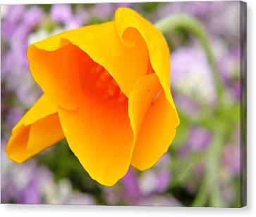 Golden California Poppy Canvas Print by Chris Berry