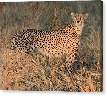 Predator Canvas Print - Golden Cheetah At Sunset by Tom Wurl