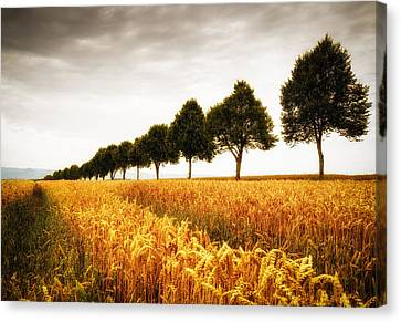 Field Of Crops Canvas Print - Golden Cornfield And Row Of Trees by Matthias Hauser