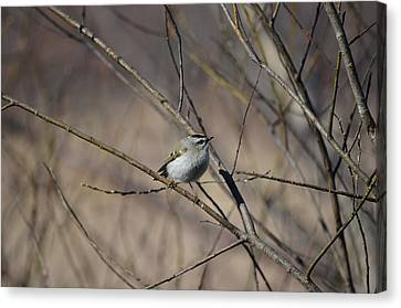 Canvas Print featuring the photograph Golden-crowned Kinglet by James Petersen