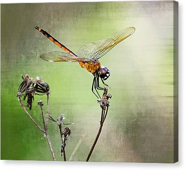 Canvas Print featuring the photograph Golden Dragonfly II by Dawn Currie