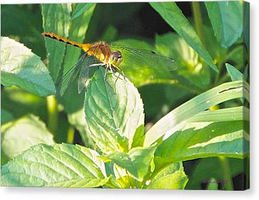 Golden Dragonfly On Mint Canvas Print