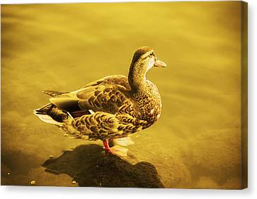Golden Duck Canvas Print by Nicola Nobile