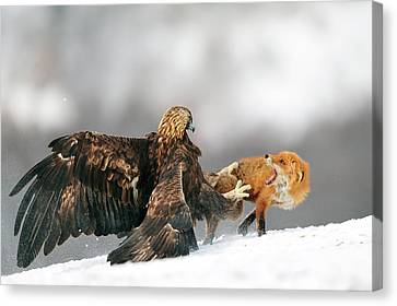 Golden Eagle And Red Fox Canvas Print