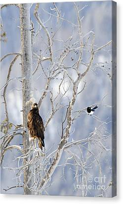 Golden Eagle And The Magpie Canvas Print