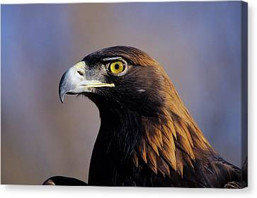 Golden Eagle (aquila Chrysaetos Canvas Print by Richard and Susan Day