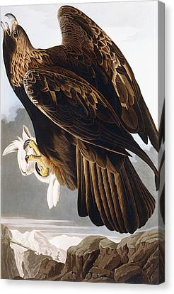 Golden Eagle Canvas Print by John James Audubon