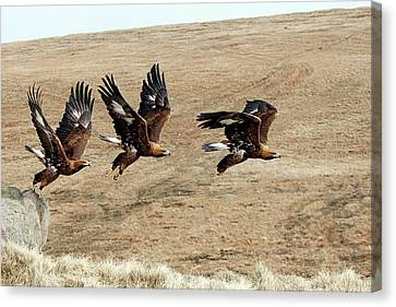 Golden Eagle Taking Off Canvas Print by Alex Hyde