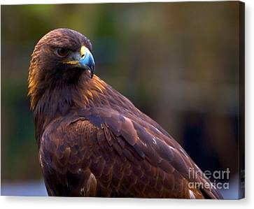 Golden Eagle Canvas Print by Terry Horstman