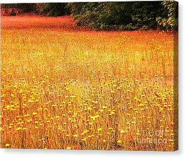 Golden Pastures Canvas Print