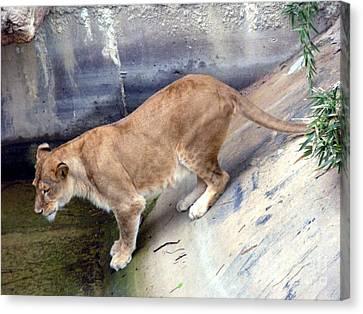 Golden Fur Lioness Canvas Print by Joseph Baril