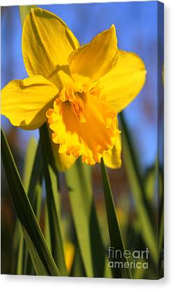 Golden Glory Daffodil Canvas Print by Kathy  White