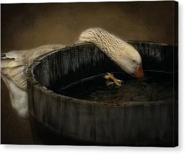 Golden Goose Canvas Print by Robin-lee Vieira