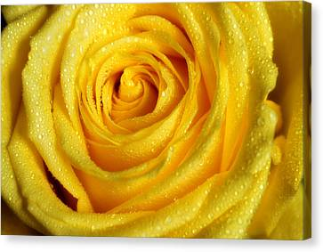 Golden Grandeur Of Nature. Yellow Rose I Canvas Print by Jenny Rainbow