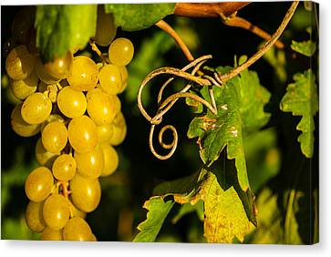Golden Grapes On Vines Canvas Print