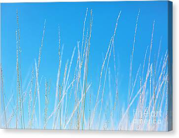 Golden Grasses Against A Clear Blue Sky Canvas Print