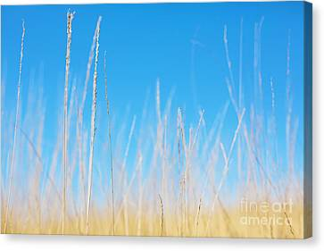 Golden Grasses On A Sunny Day Canvas Print by Natalie Kinnear