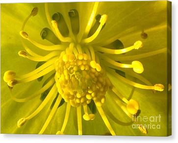 Golden Hellebore Glory Canvas Print