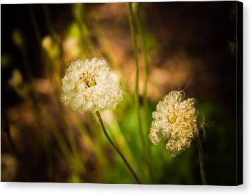 Golden Hour Canvas Print by Sara Frank