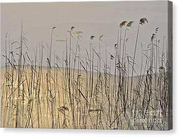 Golden Ice Canvas Print by Simona Ghidini