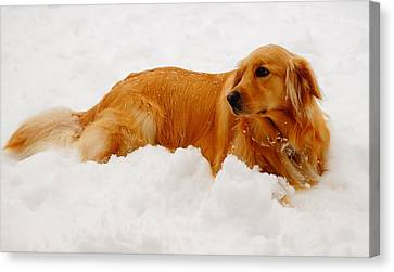 Snowy Golden Retriever Canvas Print - Golden In The Snow by Andrea Rea